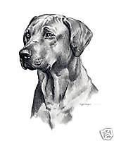 Rhodesian Ridgeback Pencil Dog Drawing 8 x 10 Art Print by Artist Djr