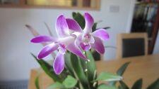Pink/Purple Flowered Orchid Plantlet - Dendrobium 'All Seasons Blue' - Keiki