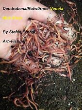 Würmer Dendrobena/Rotwürmer Mini-Klein = 1 kg inklusive Kostenlosen Versand!