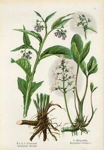 1900s MEDICINAL PLANTS QUAKER COMFREY BOG BEAN Antique Lithograph Print Losch