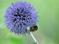 Blaue Kugeldistel, dekorative Leitstaude, Bienenweide - Tb 9