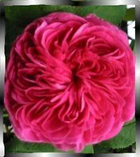 Charles de Mills, alte Strauch Rose im Topf gewachsen