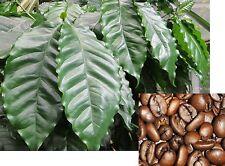 10 Samen Arabica-Kaffee (Coffea arabica) Kaffeestrauch Kaffeebaum, selber ernten
