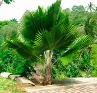 10 PCS Seeds Fan-Shaped Palm Bonsai Perennial Plants Tropical Garden Flowers New