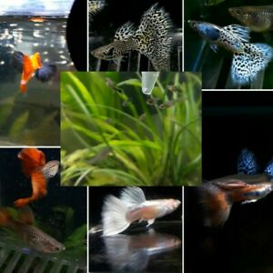 14 Baby Guppies Fish 1-2 weeks old Fry For Tropical Aquariums guppys Assorted