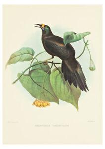 Paradigalla Carunculata (Bird of Paradise) by J. Wolf & J. Smith A2 Art Print