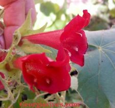 Asarina wislizensis Red Dragon 10 seeds