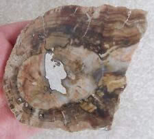 Monkey Puzzle Wood Slice (7.6 cm) - Madagascar - Triassic