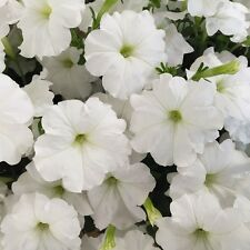 "Trailing Petunia Seeds Success White 25 Pelleted Seeds ""NEW"" true color"