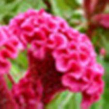 25pc.Cockscomb Bonsai Plant Garden Ornamental Flowers. #50