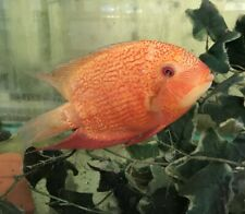 """3 RED SPOTTED GOLD SEVERUM 1 TO 1.5"""" ALSO KNOWN AS FIRE GOLD SEVERUM"""