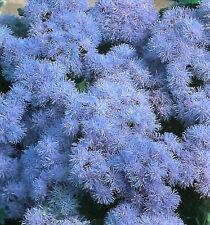 AGERATUM BLUE MINK SEEDS FLOWER POT PATIO 250 SEED PACK