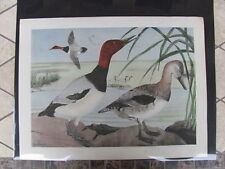 Original 1930  Rex Brasher #147 Hand Colored Bird Print Canvasback  #147REX2 DSS