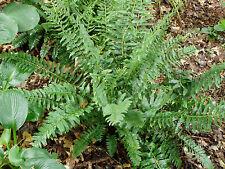 Christmas Fern 6 Bare Root Plants