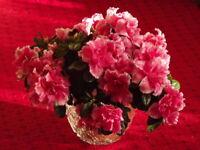 20Pcs Rare Red Azalea Fresh Seeds Organic Flowers Perennial Summer Home Garden