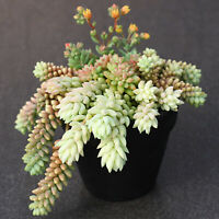 5 Fresh Cuttings Sedum burrito 'Burro's Tail, Donkey Tail' Succulent Plants