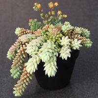 5 Succulent Cuttings Sedum burrito 'Burro's Tail, Donkey Tail' Succulent Plants