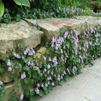 Kenilworth Ivy- 200 Seeds - BOGO 50% off SALE