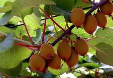 winterharte Kiwi Actinidia chinen. Schlingpflanzen Kletterpflanzen mit Obst Deko