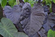 colocasia esculenta BLACK SAPPHIRE GECKO magic   plante bassin 1.80 m