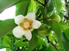 Dillenia Indica 15 Seeds, Elephant Apple Edible Fruit Shrub Tree Chulta Flowers