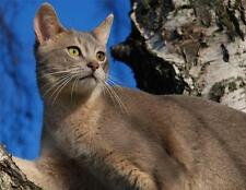Blue Abyssinian Cat Glossy Poster Picture Photo kitten kitty kitties cute 520
