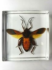 INDONESIAN COREIDAE. Leaf-footed bug embedded in resin. ( East Java Island )