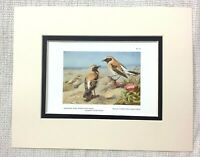 1929 Antico Uccello Stampa Eastern Pied Wheatear Deserto Nero Archibald Thorburn