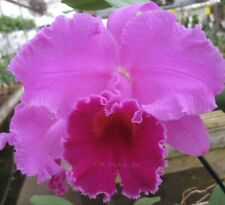 Cattleya Blc. Memoria Grant Eichler 'Lenette' Hcc/Aos - Large Blooming Size