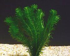 elodee  egeria densa 15/25cm plante oxygenante aquarium bassin