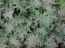 2000 Red Russian Kale Seeds Brassica Oleracea + Gift - COMB S/H