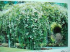 6 Silverlace -Starter Plants Zone 3 Perennial