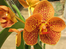 "Orchid Vanda, ASCDA Gua Chia Long Surat, Orange Spots, Baby in 2"" pot"