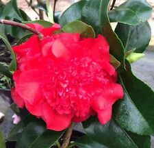 Camellia - Ruby Wedding. Double Red Flowers. Glossy Green Leaves Evergreen 3 lit