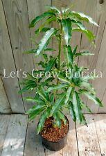 "Mango Tree Lemon Zest  3 Gal / 10"" Pot Professionally Grafted Live"