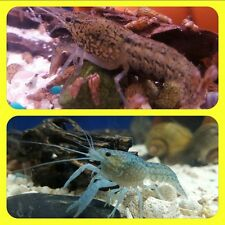 -2- True SELF CLONING Baby Live Crayfish (Blue~Gray~Tan) BABIES!!! 1/2 inches