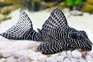 L260 Queen Arabesque Pleco Live Tropical Fish Aquarium Tank Breeding Project