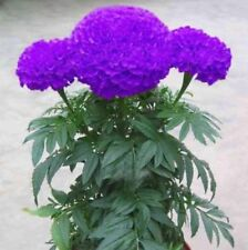 100 Purple Blue Marigold Seeds Home Garden Edible Flower Seed Potted Plant