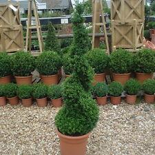 Box Buxus Topiary Spiral 125 cm