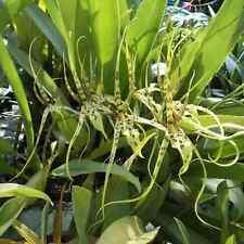 """Nano Orchids Hybrid Plants: Brassia Eternal Wind 3.5"""" pot size :OC07"""
