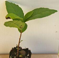 Camellia Sinensis Tea Plant ~ Live Starter Plant