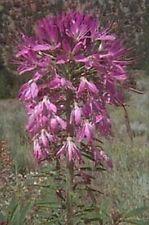 Rocky Mountain Bee Plant - (Cleome Serrulata) - 50 seeds