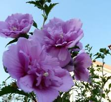 Rose of Sharon Hibiscus Syriacus HARDY fleur double!! H-2 lilas, 15 seeds