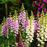 50 Common Foxglove Seeds Digitalis purpurea Garden Flowers
