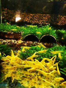 10 X YELLOW neon freshwater aquarium shrimp high quality Size approx 1,5 - 2 CM