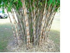 Oxytenanthera abyssinica  20 seeds. Clumping bamboo. Very rare African bamboo