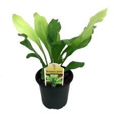 "Japanese Bird's Nest Fern - 4"" Pot - Asplenium - Easy to Grow Houseplant"