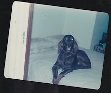 Vintage Photograph Adorable Irish Setter Puppy Dog Laying On Bed