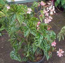 Begonia  Metallica - Plant