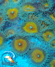 New listing Live Jf Captain Jerk Paly Zoanthid Coral Frag - 1 polyp